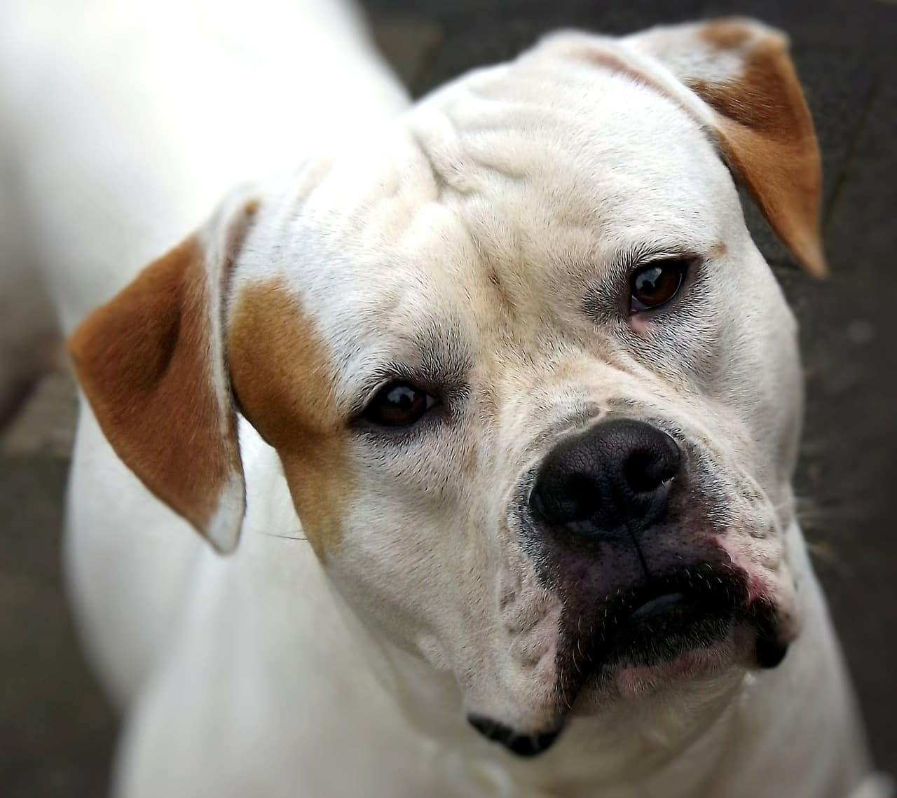 American Bulldog Rasseportrait Wesen Charakter Zuchter