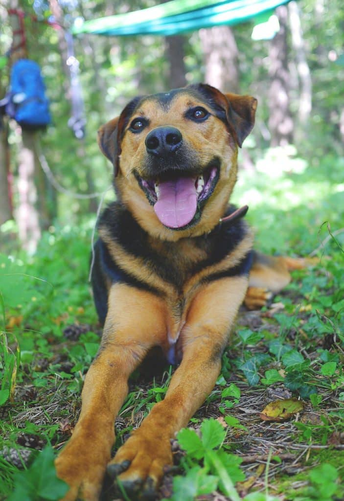 Appenzeller Sennenhund Rasseportrait Wesen Charakter Zuchter