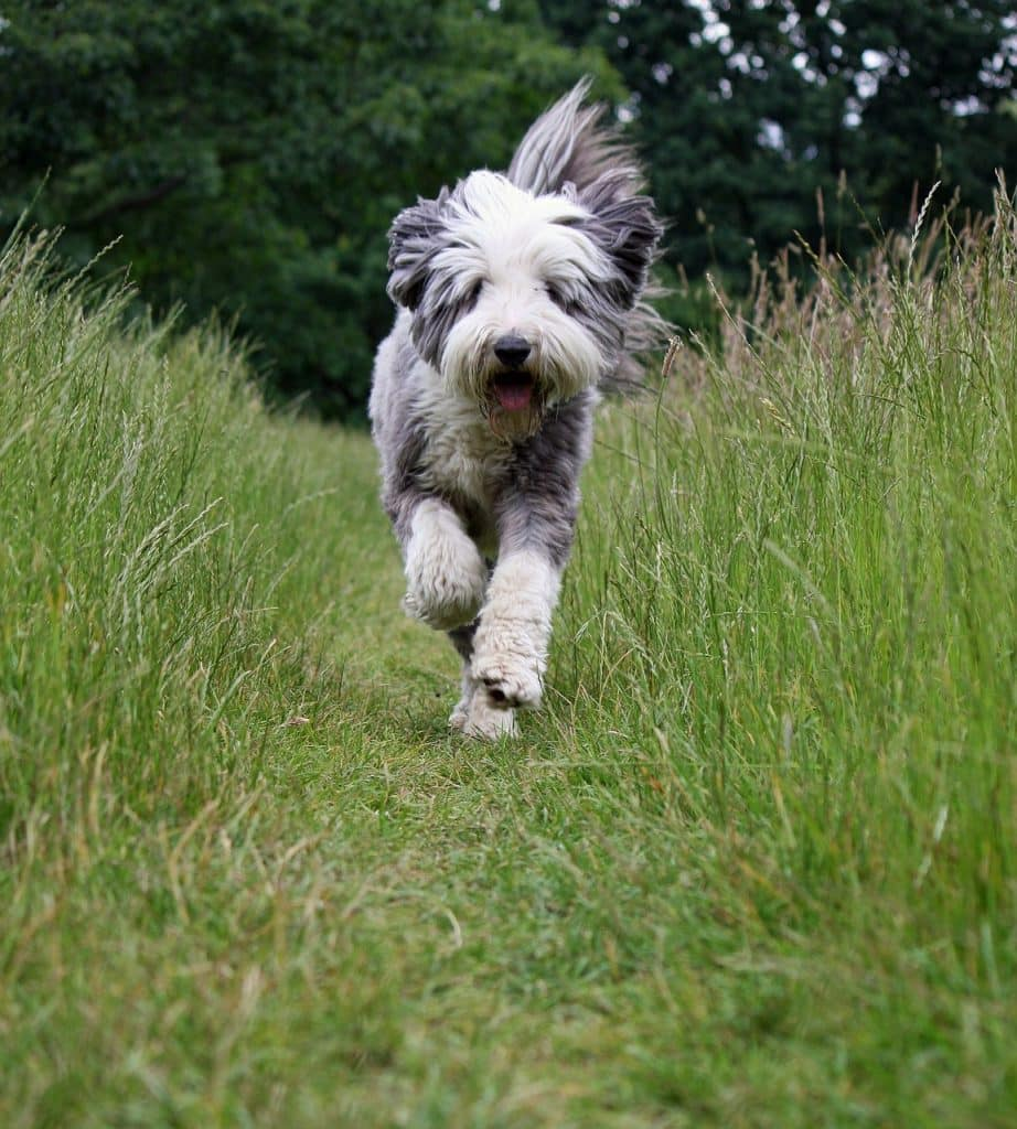 Bearded Collie 03