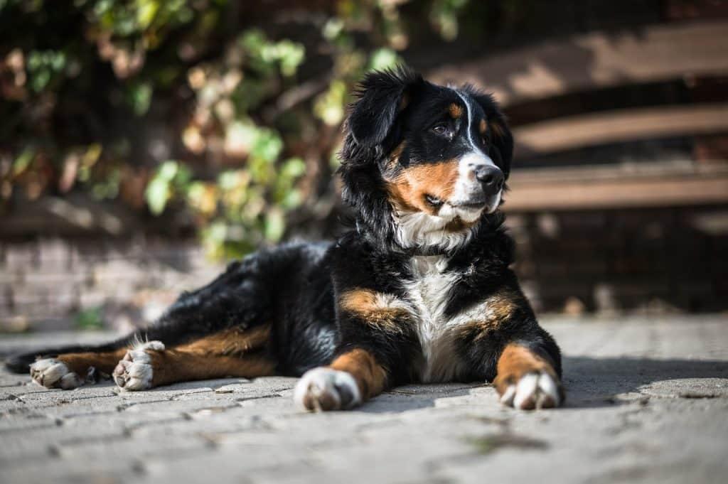 Berner Sennenhund 02