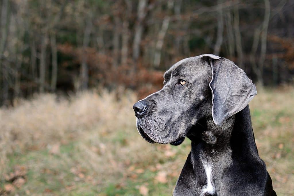 Deutsche Dogge 02
