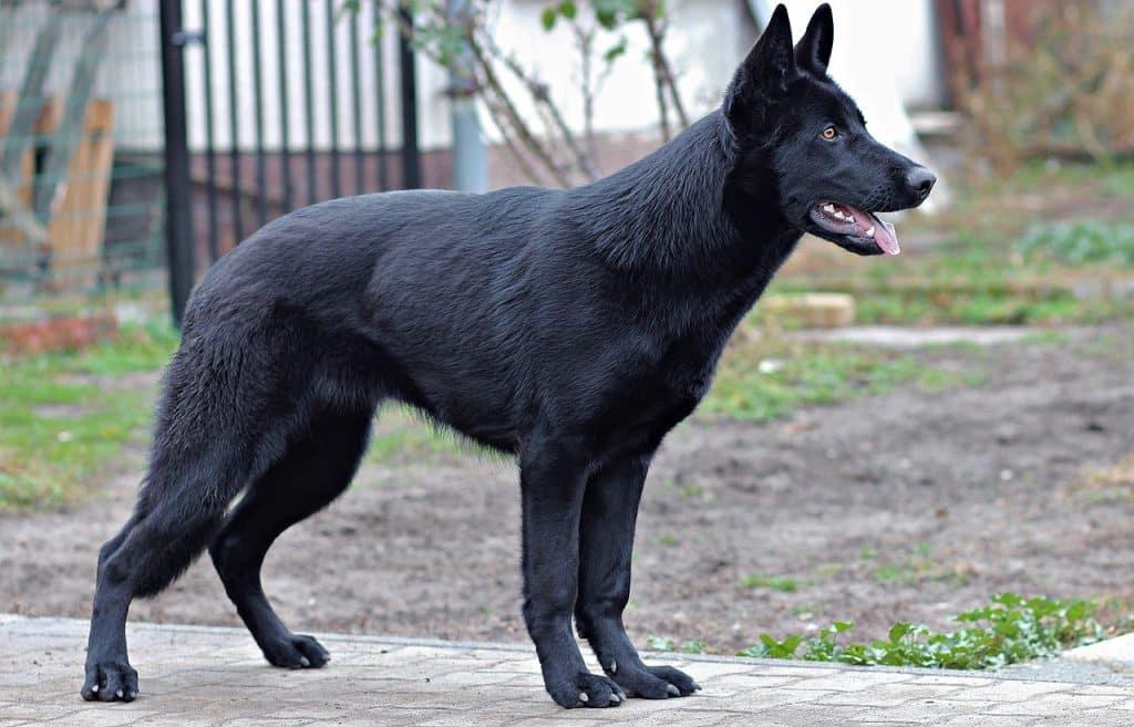 Deutscher Schäferhund 04