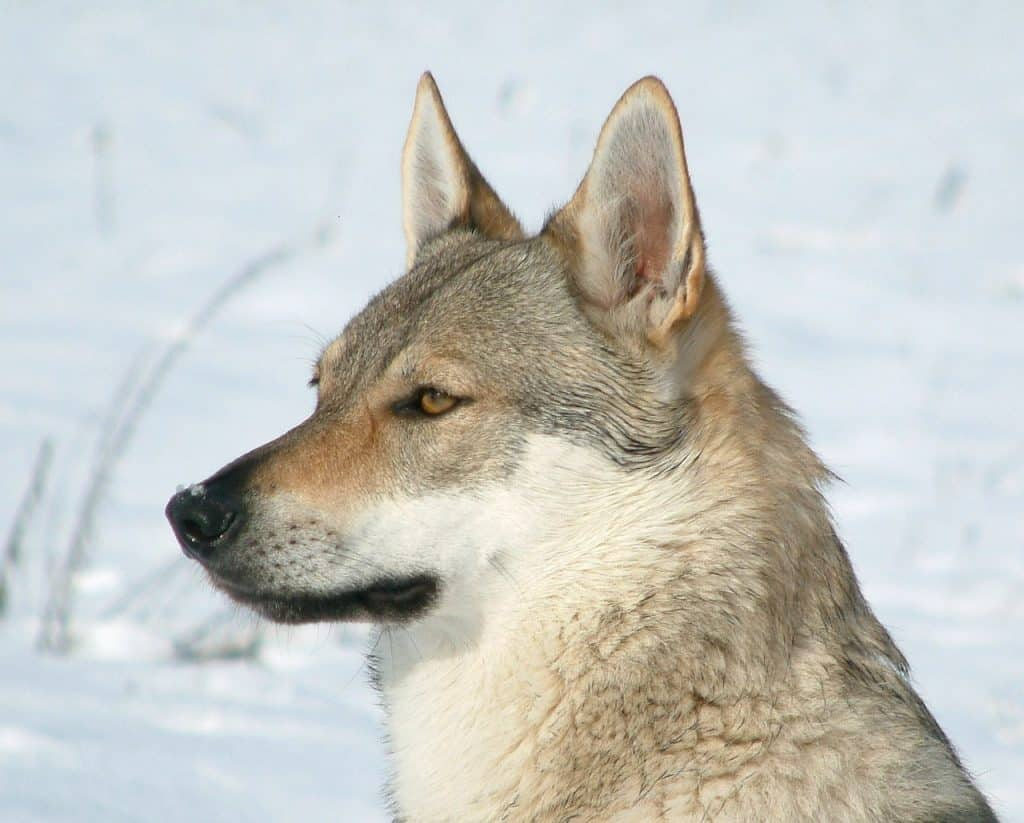 Wolfshund 03