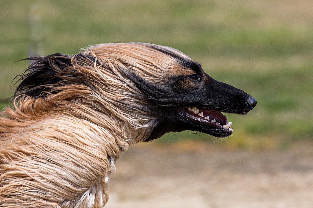 Afghanischer Windhund 01