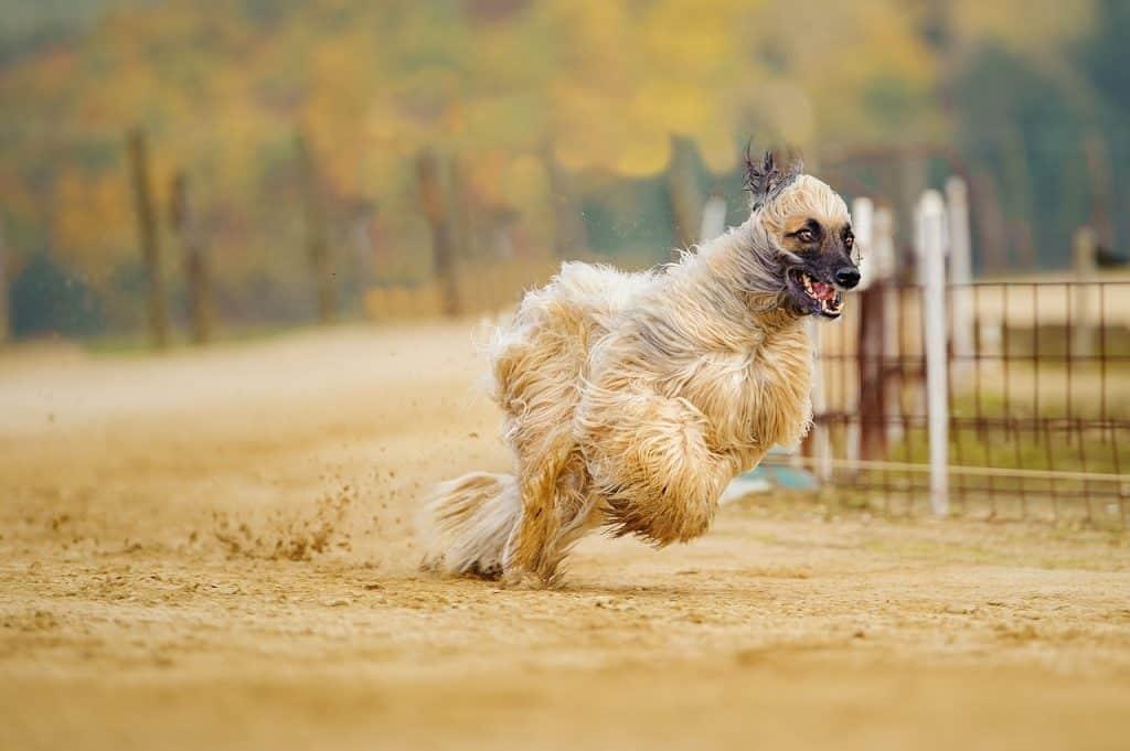 Afghanischer Windhund 02