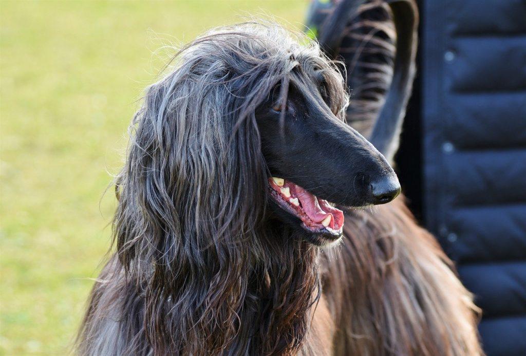 Afghanischer Windhund 04