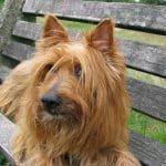 Australian Terrier 02