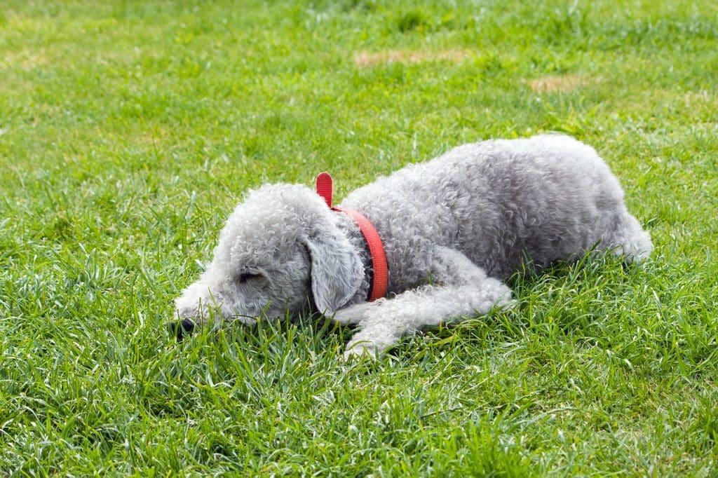 Bedlington Terrier 01