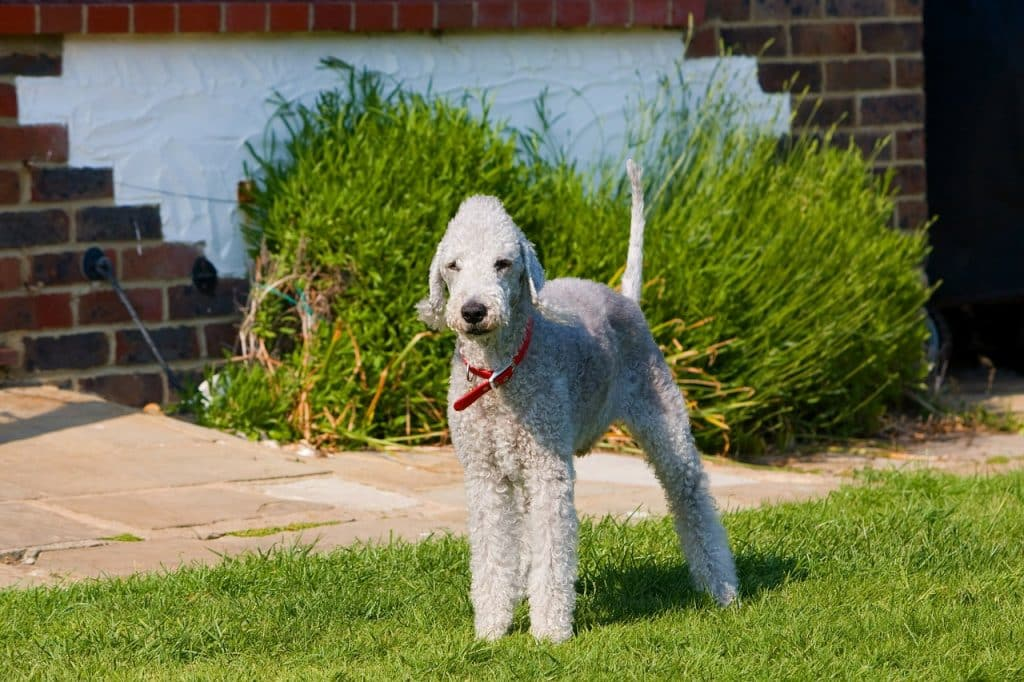 Bedlington Terrier 02