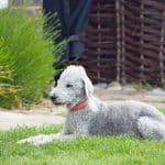 Bedlington Terrier 03