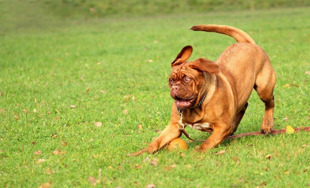 bordeaux dogge 03