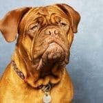 bordeaux dogge 04