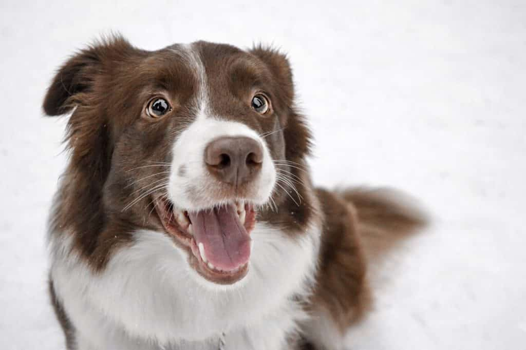 Border Collie 01