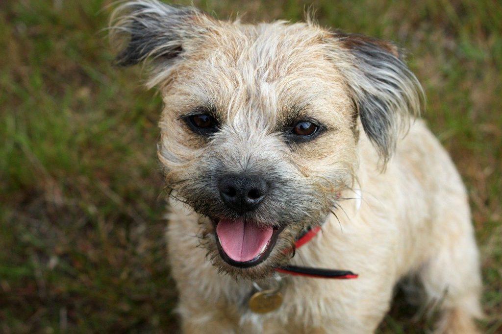 Border Terrier 03