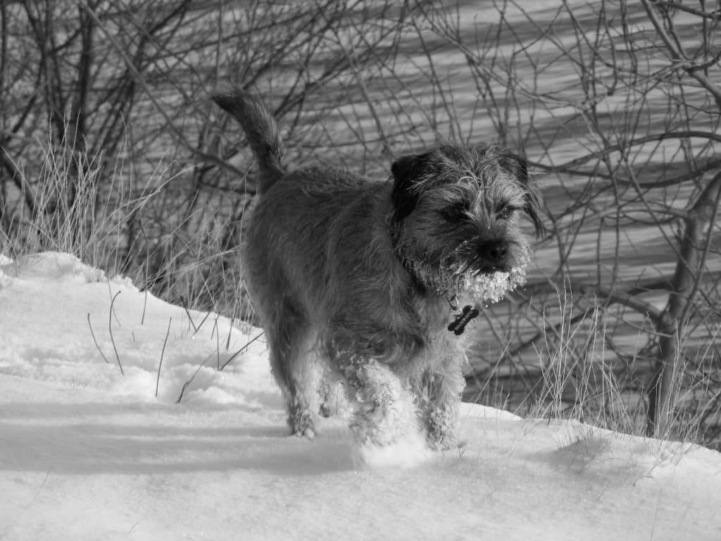 Border Terrier 04