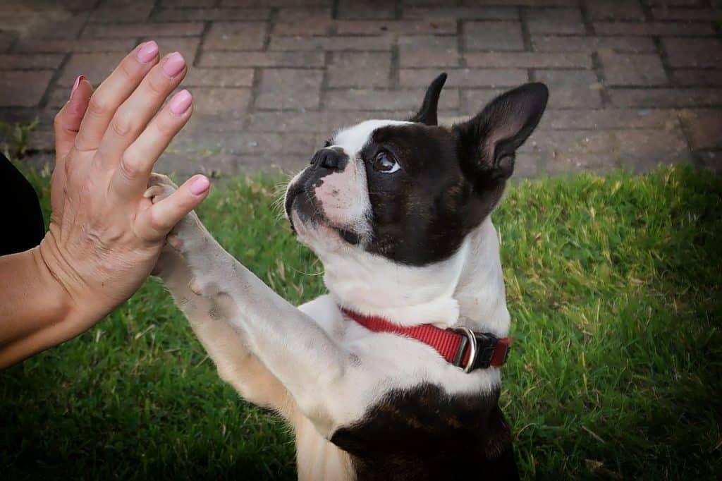 Boston Terrier 03