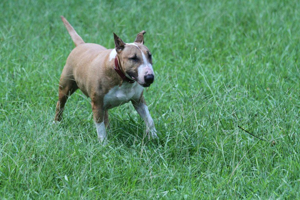 Bull Terrier 02