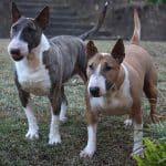 Bull Terrier 04