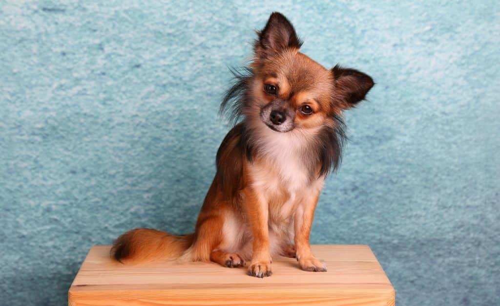 Chihuahua 03
