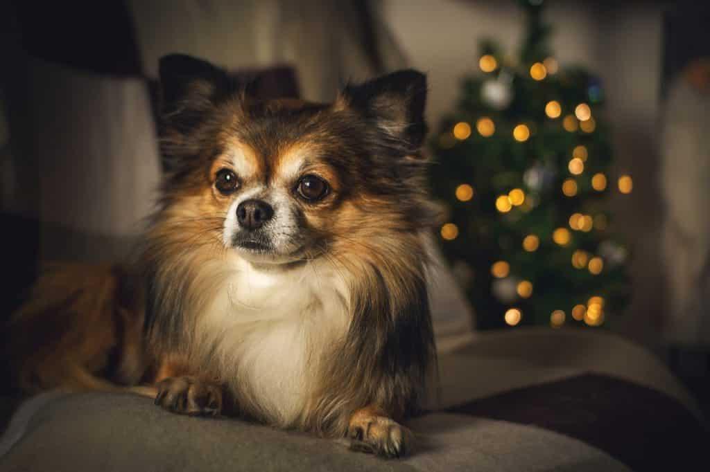Chihuahua 04