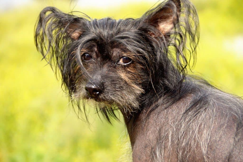 Chinesischer Schopfhund 03