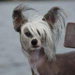 Chinesischer Schopfhund 04