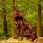 Deutscher Wachtelhund 04