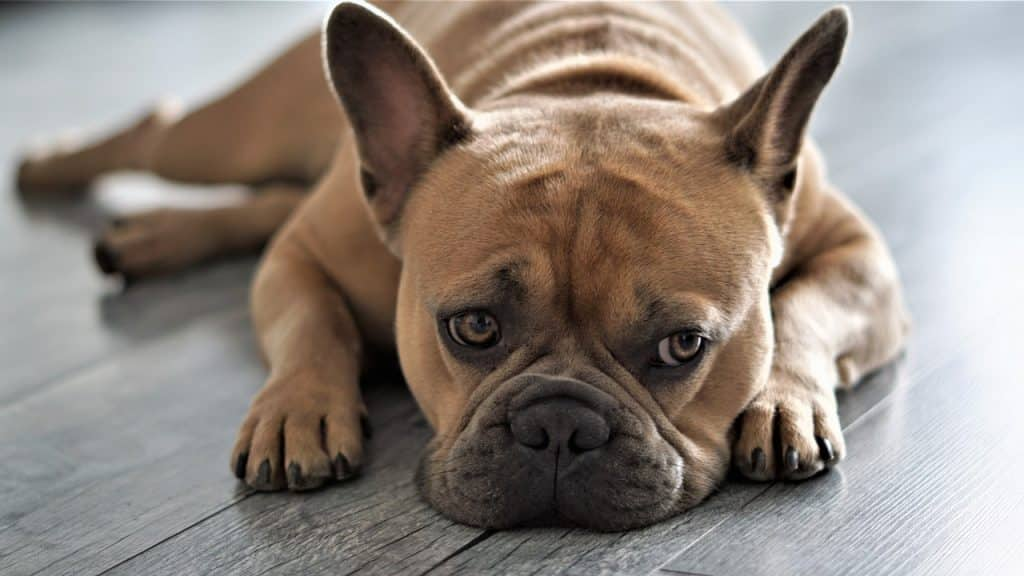 Französische Bulldogge 01