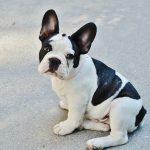 Französische Bulldogge 02