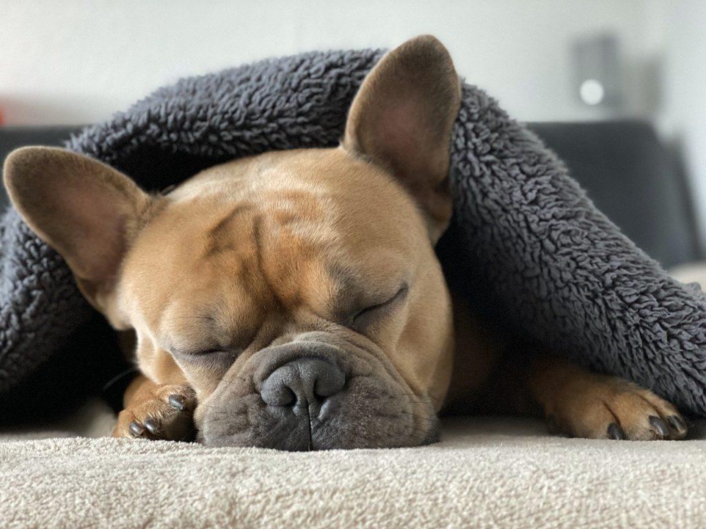 Französische Bulldogge 03
