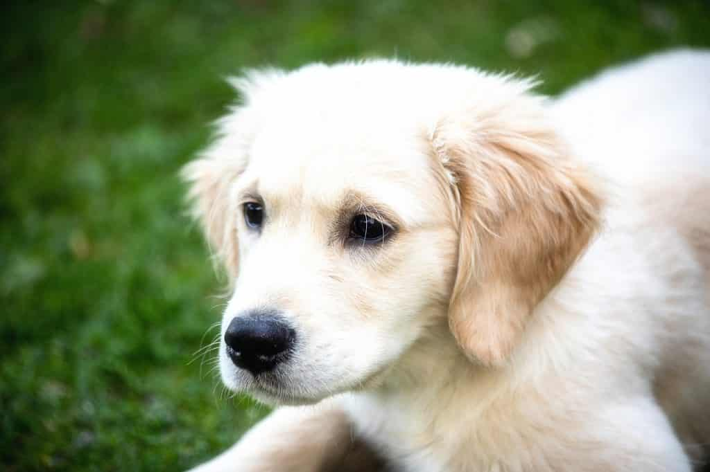 Golden Retriever 02