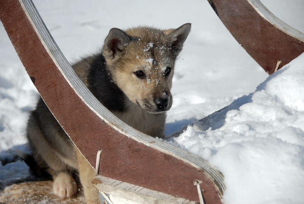 Grönlandhund 01