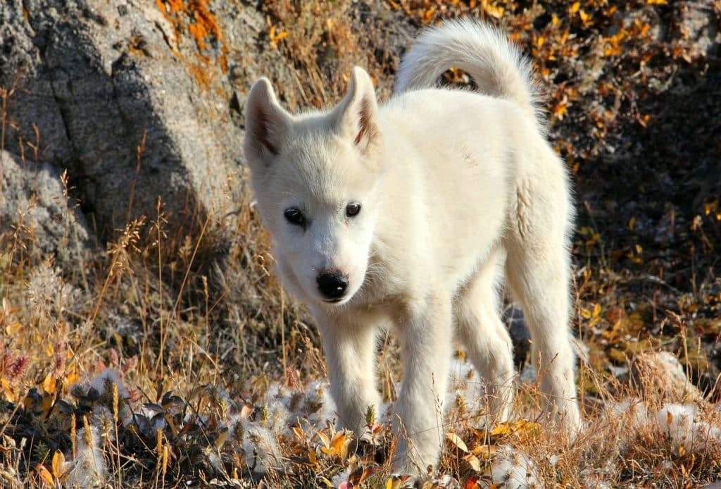 Grönlandhund 02