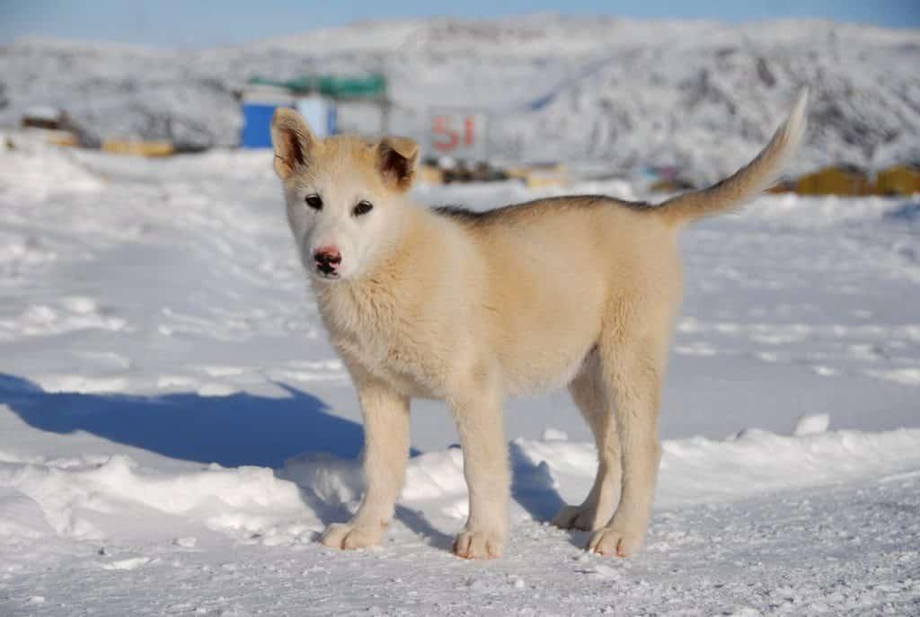 Grönlandhund 03