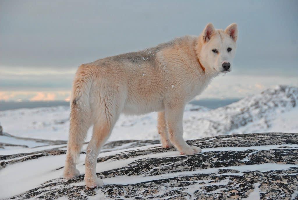 Grönlandhund 04