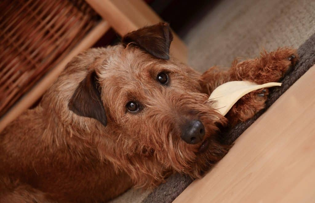 Irish Terrier 01