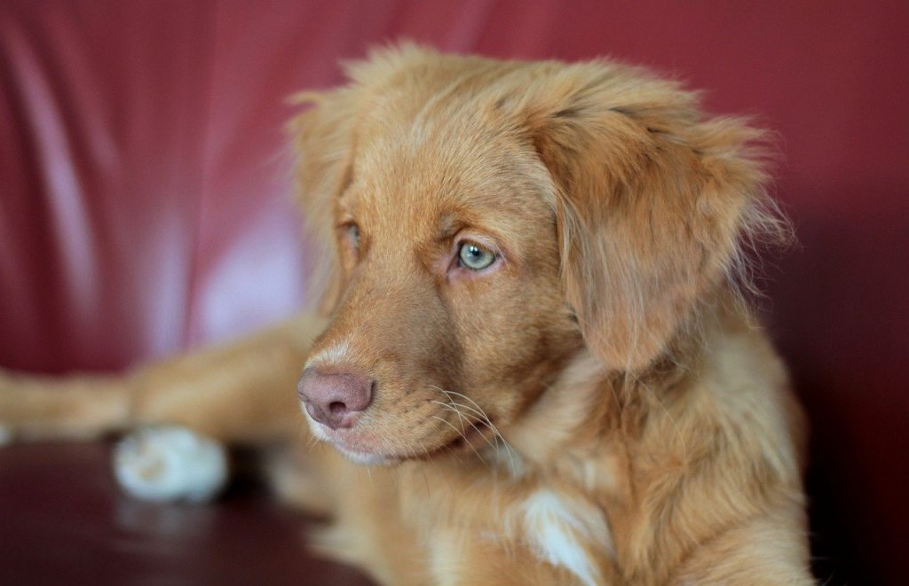 Nova Scotia Duck Tolling Retriever 01