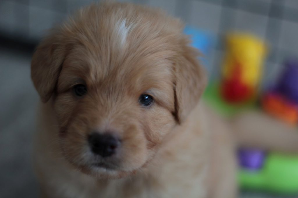Nova Scotia Duck Tolling Retriever 02