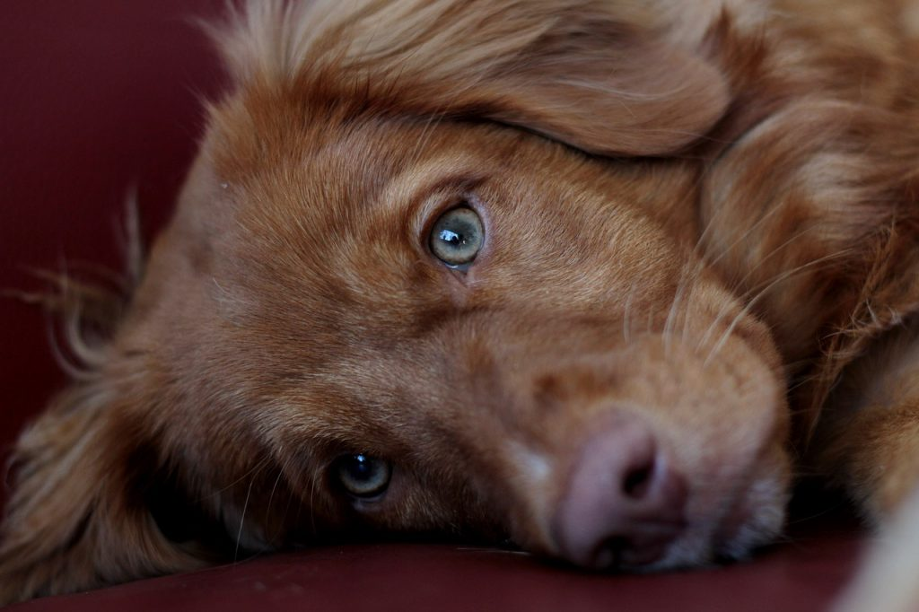 Nova Scotia Duck Tolling Retriever 03