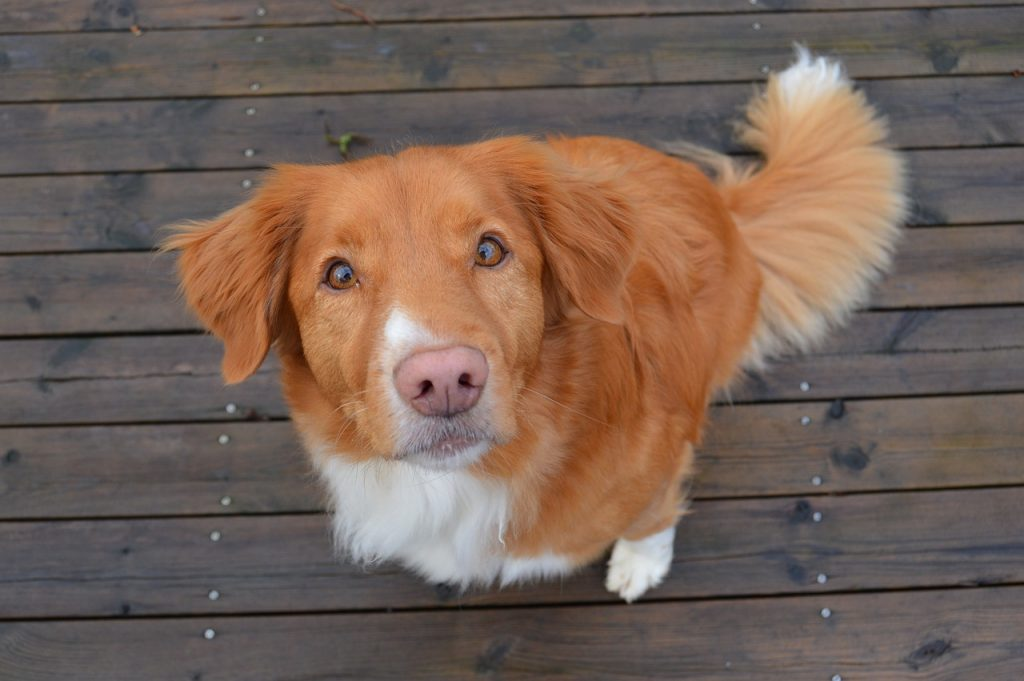 Nova Scotia Duck Tolling Retriever 04