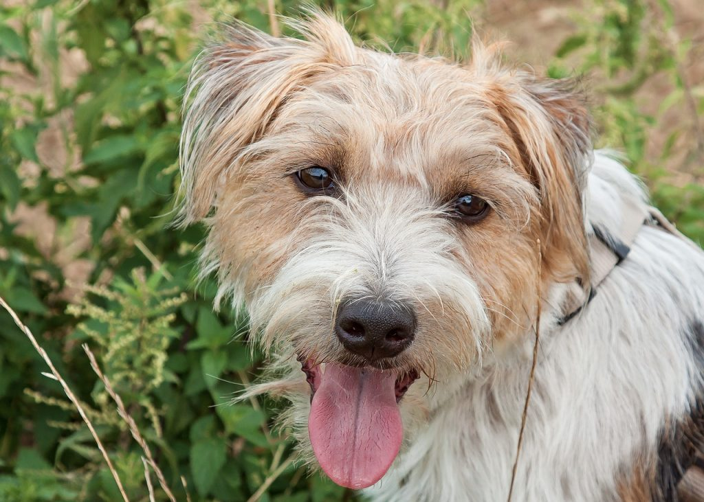 Parson Russell Terrier 02