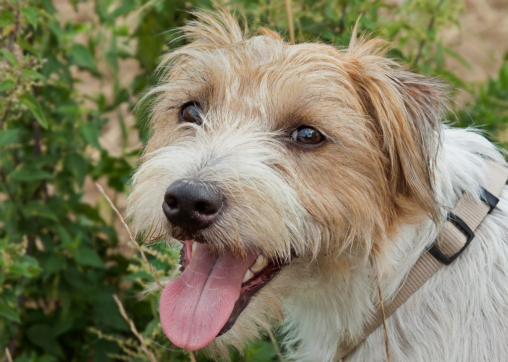 Parson Russell Terrier 03