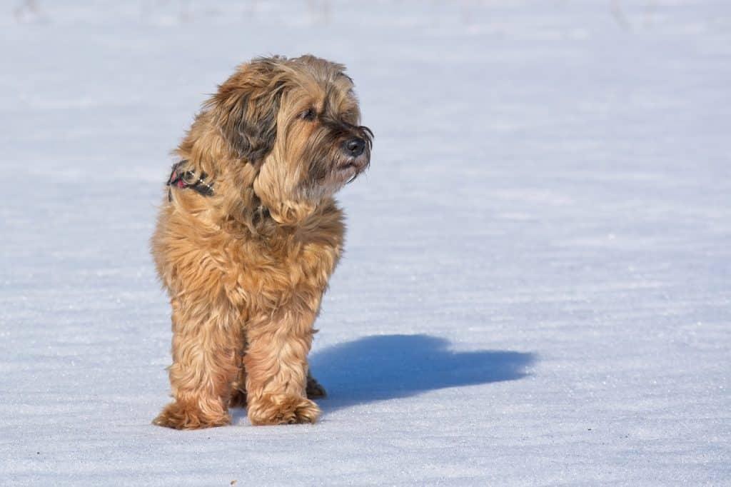 Tibet Terrier 01