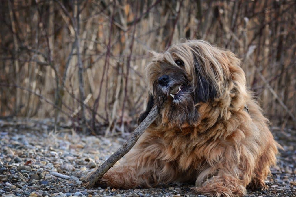 Tibet Terrier 03
