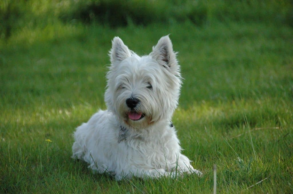 West Highland Terrier 01