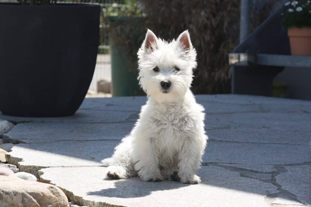 West Highland Terrier 02