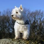West Highland Terrier 03