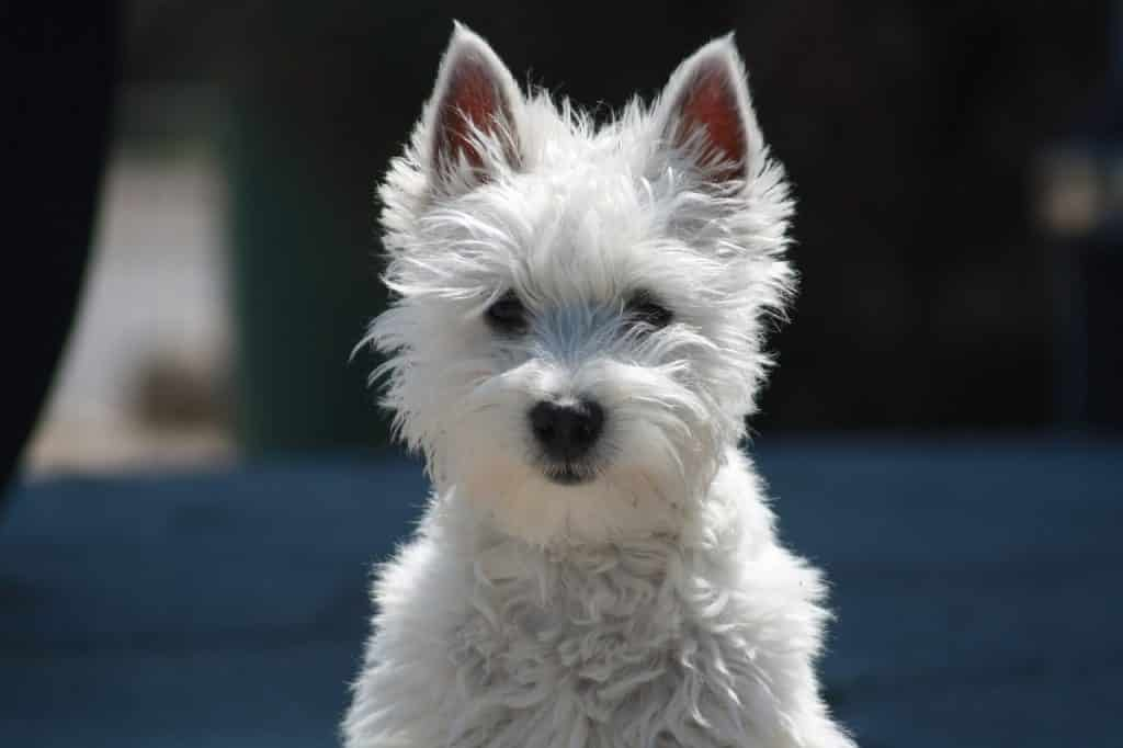 West Highland Terrier 04