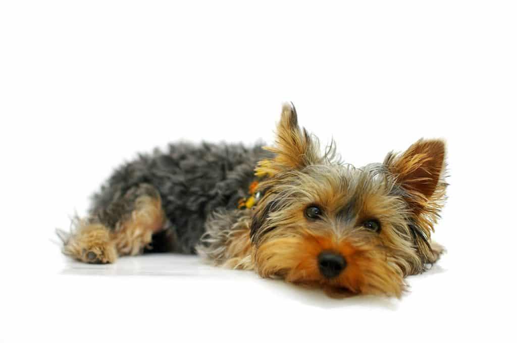 Yorkshire Terrier 02