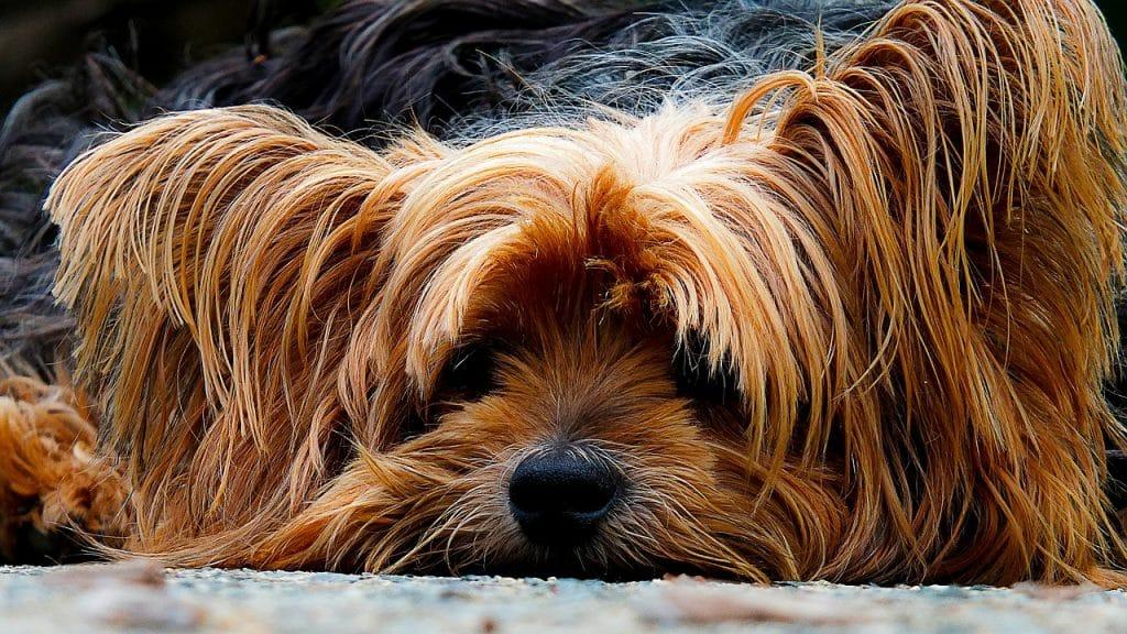 Yorkshire Terrier 04